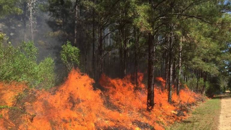 Fire in the Forest: Friend or Foe?